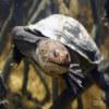 Turtle, Siebenrock's snake-necked