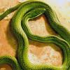 Snake, Baron's Green Racer
