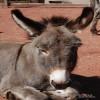 Donkey, Miniature