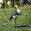 Crane, East African Crowned