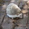 Hedgehog, Four-toed African