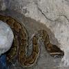 Python, African Rock