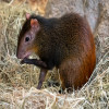 Agouti, Red-Rumped