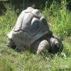 Tortoise, Aldabra Giant