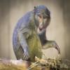 Monkey, Allen's Swamp