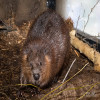 Beaver, American