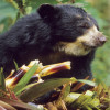 Bear, Andean (Spectacled)