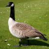 Goose, Canada