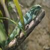 Iguana, Fijian Banded
