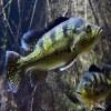 Sunfish, Green