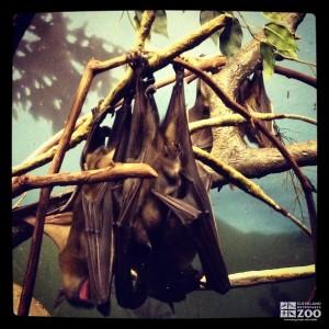 Egyptian Fruit Bats Hanging