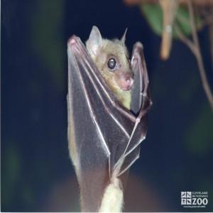 Egyptian Fruit Bat Eating