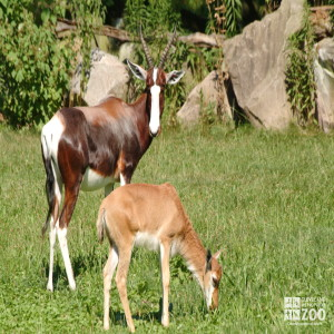 Bontebok and Calf