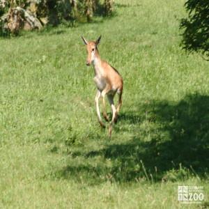 Bontebok Calf Jumping