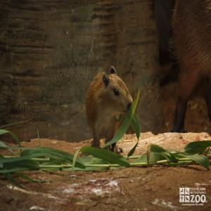 Baby Capybara Munching