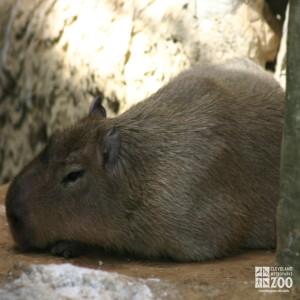 Capybara, Sleeping