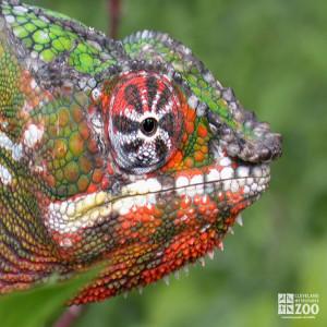 Panther Chameleon 2