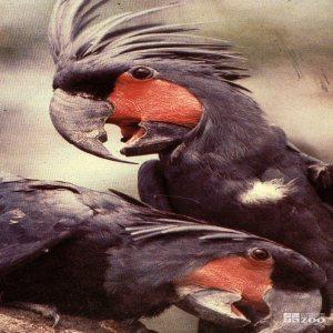 Palm Cockatoos 2