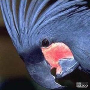 Palm Cockatoo Close Up
