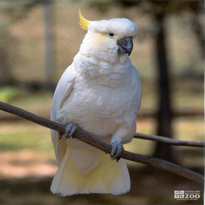 Sulphur-Crested Cockatoo Full on Branch