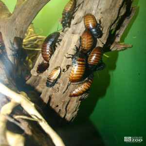 Cockroaches on Branch