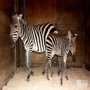 Grant's Zebra- New born and Parent