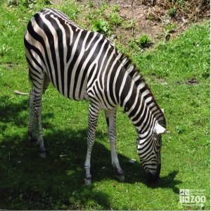 Grant's Zebra- Grazing