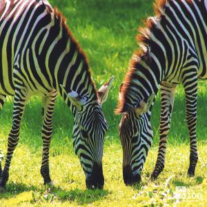Grant's Zebra- Grazing in Two's
