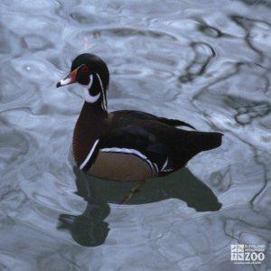 Duck, North American Wood