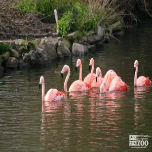 Flamingos, Chilean Swimming