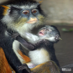 Wolf's Guenon and Baby