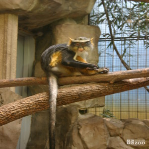 Wolf's Guenon in Tree