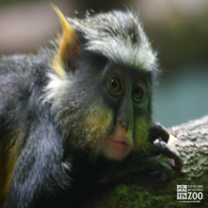 Wolf's Guenon Upclose 3