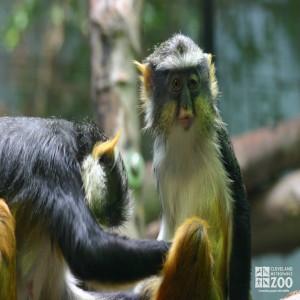 Wolf's Guenon Pair