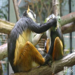 Wolf's Guenon Pair 3
