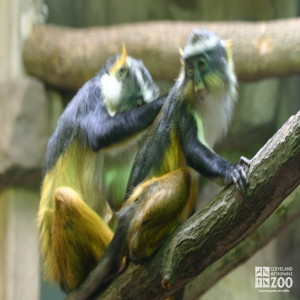 Wolf's Guenon Grooming 2