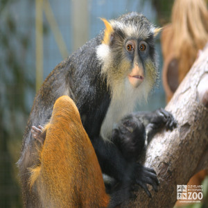 Wolf's Guenon in Tree 2