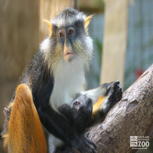 Wolf's Guenon in Tree with Baby