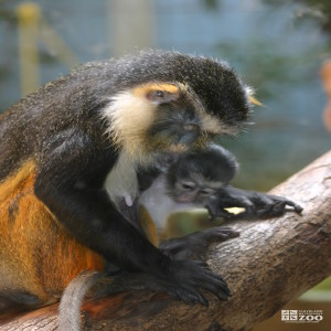 Wolf's Guenon and Baby 3