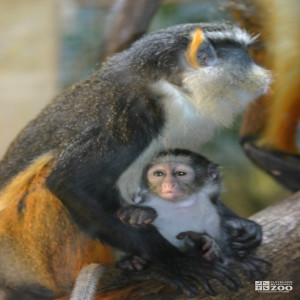 Wolf's Guenon and Baby 8