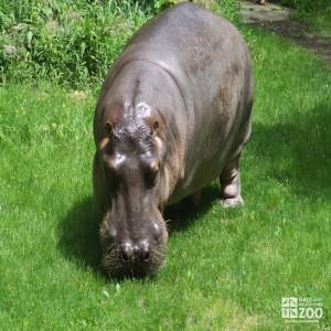 Hippo, Blackie Outside