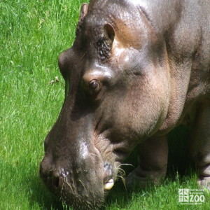 Hippo, Blackie Upclose