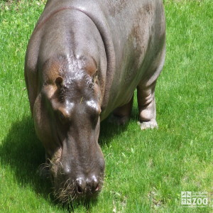Hippo, Blackie Upclose 2