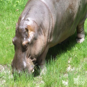Hippo, Blackie Eating Grass