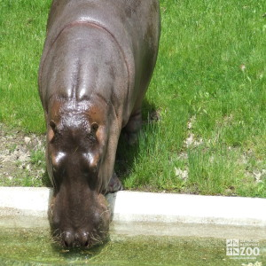 Hippo, Blackie Drinking Water