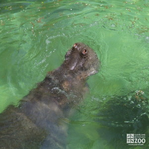 Hippo, Blackie Swimming