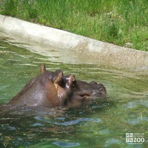 Hippo, Blackie  Swimming 2