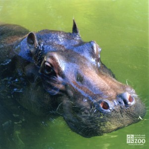 Hippo, Blackie  Upclose 4