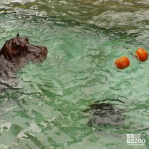 Hippo, Blackie  and Pumpkins