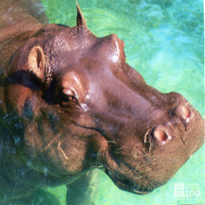 Hippo, Blackie  Upclose 5